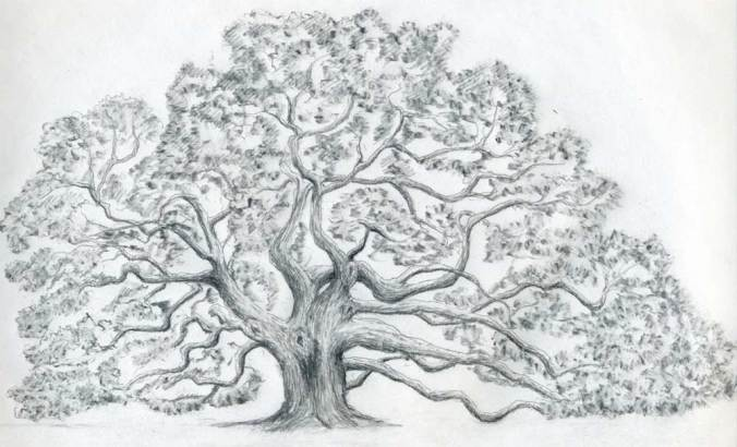 how-to-draw-an-oak-tree14